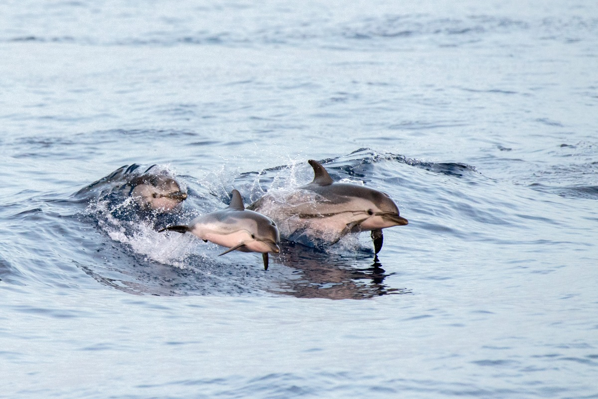 Streaking, Acrobatics, and Organised Debauchery: Just Another Day For a Striped Dolphin!